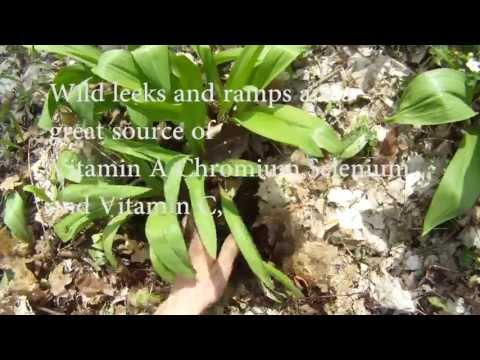 How to Identify Wild leeks / Ramps in the wild and how to harvest them! By *Wild Forage*