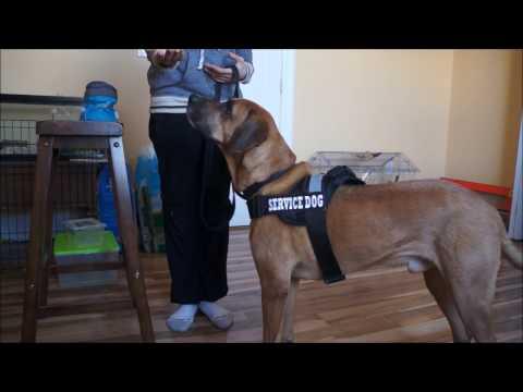 Service Dog Training #2 - Basic Commands