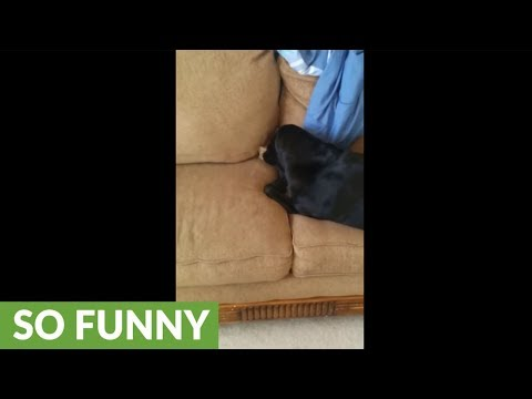 Dog hides bone in couch, covers it with blanket