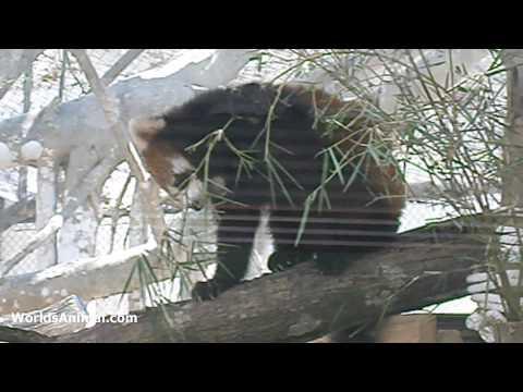 What Do Red Panda Eat