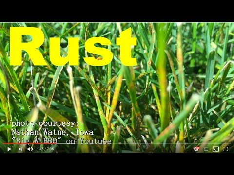 How To Get Rid Of Rust Disease/Fungus In The Lawn