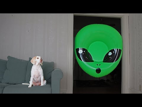 Xxx Mp4 Dog Unimpressed By Giant Alien Head Funny Dogs Maymo Amp Potpie 3gp Sex