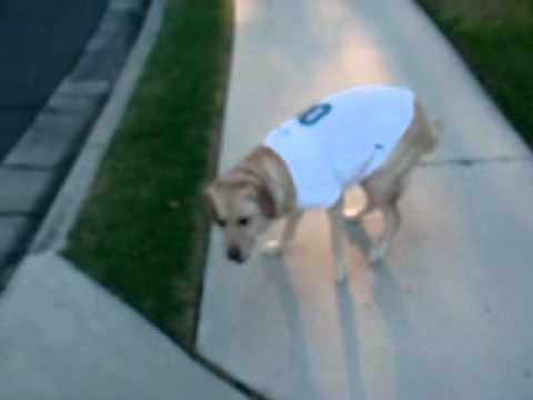 Yellow Lab Showing Off New NFL Jersey for Dogs from Pet-Super-Store.com