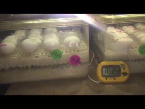 Update on bearded dragon eggs & Incubator
