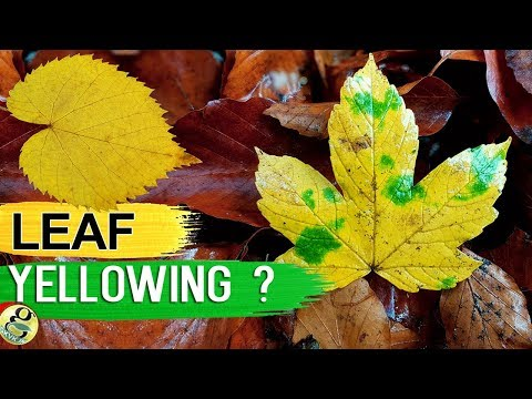 LEAVES TURNING YELLOW? 10 TIPS On How to Fix Plant with Yellow or Brown Leaves | Leaf Chlorosis
