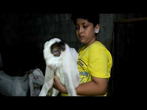 World famous Gulabi Goats| He can't give his Breeder in One