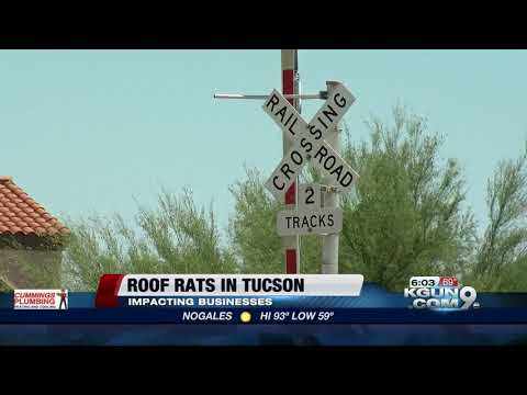 Roof rats concerning Tucson businesses