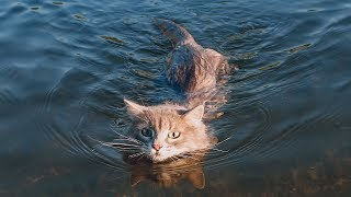 Funny Cats in Water - Funny Cat Videos