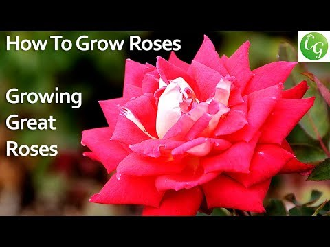 How to grow roses - Growing great looking roses in your garden