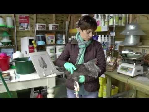 Spring Clean! How to Get Rid of Mites and Lice on Chickens