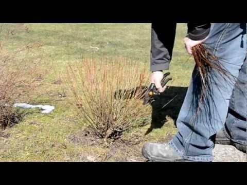 Salix purpurea pruning