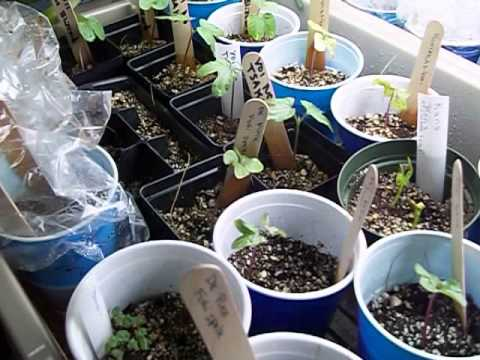 Morning glory grow out 2014 One week after planting, seed leaf