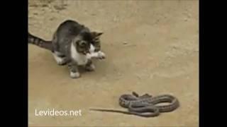 IncreÍble!!! Gato Ataca Y Come A Una Serpiente!!!