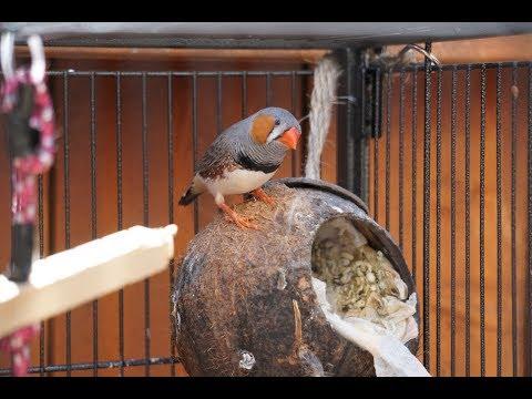 Finch Breeding Update July 2017