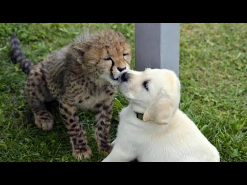 Cheetah Cubs At San Diego Zoo Have Been Given The Most Adorable Gift To Relieve Their Anxiety