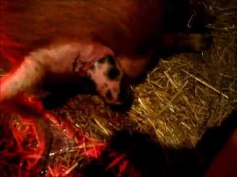 Pig giving birth for the first time