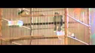 Kapas Tembak Buka Ekor Robby Bengkulu Download Mp3 Mp4 3GP HD Video