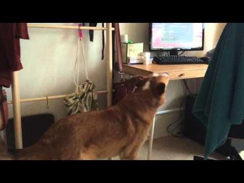 Service Dog Task - Bringing me my medication