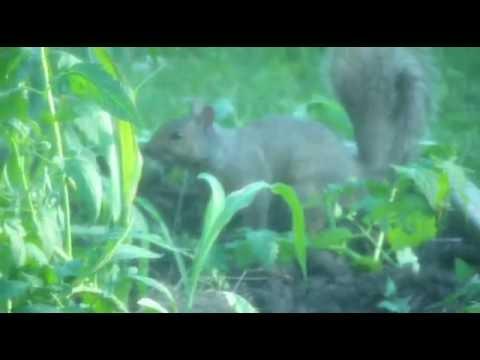 Bad Squirrel At It Again, Eating My Corn Stalks