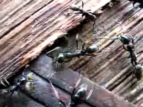 Get rid of termites - Ants attacking termite nest