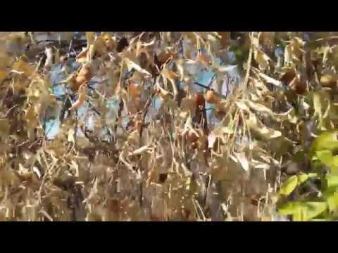 Citrus Tree Disease 2018 Mesa AZ  480 969 8808 Warner's Tree Surgery 122018