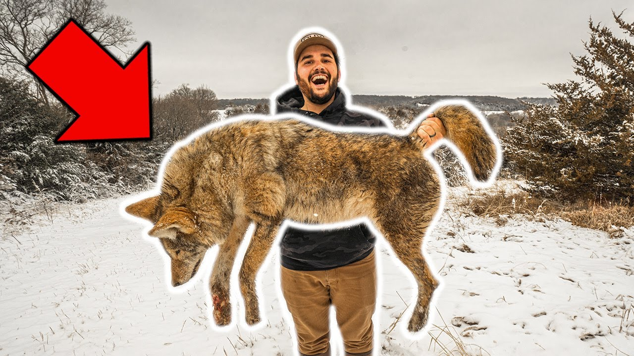 I TRAPPED My FIRST COYOTE in My BACKYARD!!! (Taking to Taxidermist)