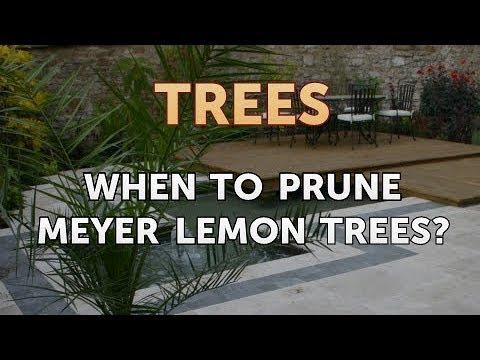 When to Prune Meyer Lemon Trees?
