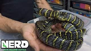 BIG CLUTCH - BLUE MANGROVE SNAKES! CHECK THEM OUT!