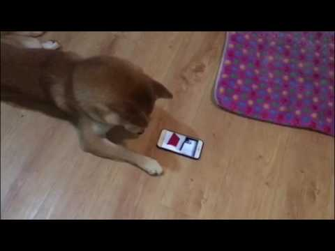 How to keep your dog busy , give to him the IPhone 😄