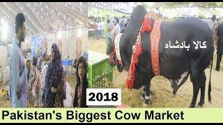COW MANDI SOHRAB GOTH   Best Video   Maweshi Mandi Pakistan