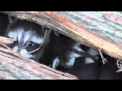 4 Minutes of Baby Animals: Raccoons by Sayre Nature