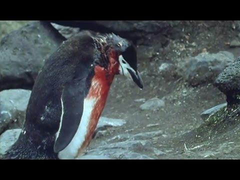 Xxx Mp4 Heartbreaking Ultimate Penguin Sacrifice Life In The Freezer BBC 3gp Sex