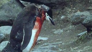 Heartbreaking! Ultimate Penguin Sacrifice   Life in the Freezer   BBC