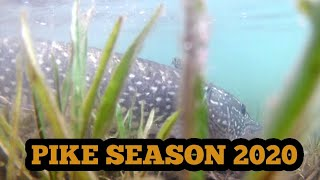 Fly fishing for pike|Pike on fly|Pike fly fishing season 2020 preview|Fly fishing Croatia