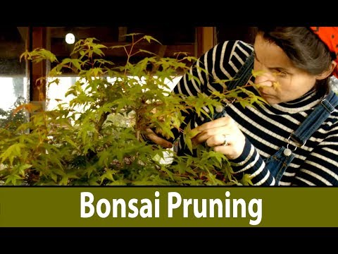 168) Bonsai Pruning Japanese Maple Bonsai Forest Acer palmatum Summer Pruning
