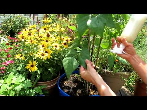 How to Manage Spider Mites in the Vegetable Garden:  Wash, Spray with Soap & Neem Oil