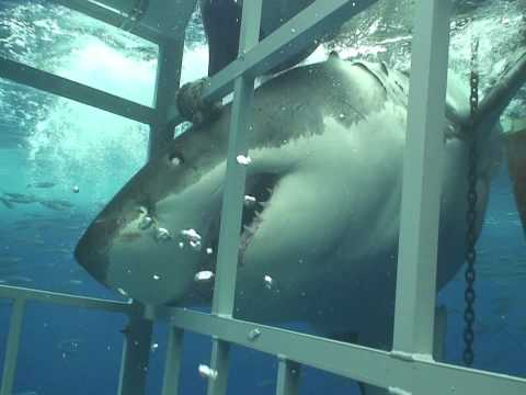 Great White Shark chomping on my cage off Guadalupe Mexico