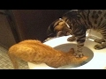 YOU SHALL NOT PASS WITHOUT LAUGH - The best CAT videos