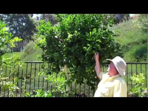 Train-A-Tree -Reducing The Size of a Citrus Tree Part 1