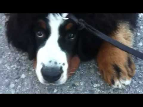 Bernese mountain dog refuses to walk