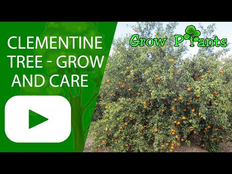 Clementine tree - growing and care