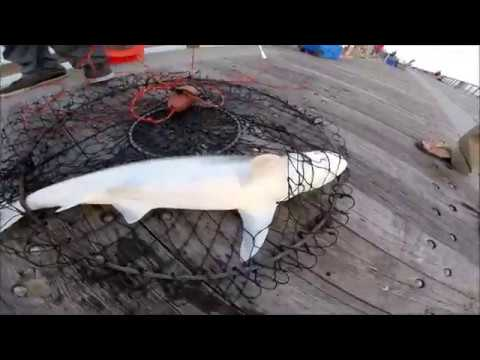 blacktip Shark Catch And Cook