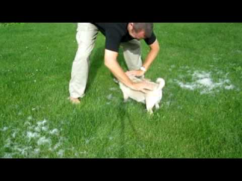 Amazing shedding Pug dog hair removal technique