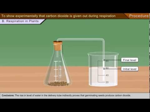 To show experimentally that carbon dioxide is given out during respiration
