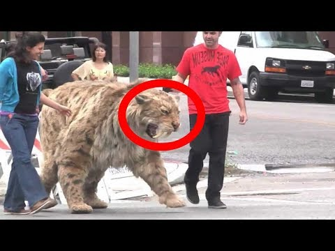Extinct And STILL ALIVE Saber Tooth Animals!