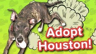 Adopt Houston! // Lab Mix // Adoptable Featurette