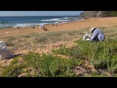 SEA SPURGE WEED CONTROL