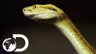 Getting Up Close And Personal With Brazil's Golden Lancehead Snake | Treasure Quest: Snake Island