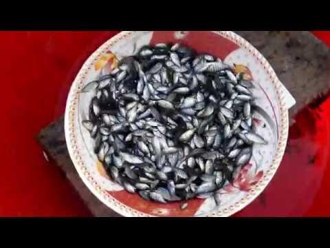 Monosex Tilapia Farming in Bangladesh