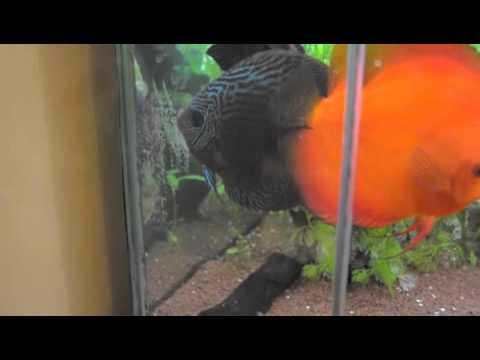 Breeding Discus with eggs - Video 1.m4v